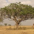 3 - Maasai Giraffe